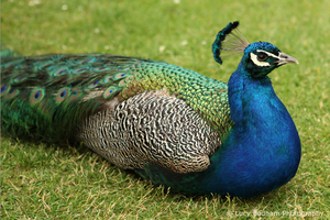 Peacock, gardens of Monkey Island Hotel | Lucy Badham Photography